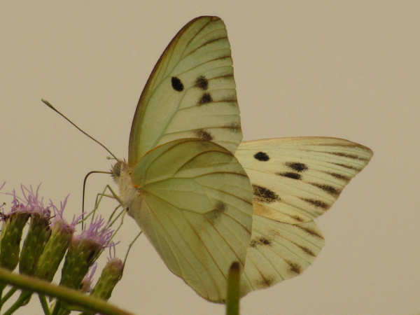 picture of a Giant White butterfly