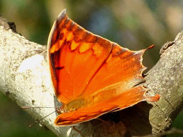 picture of a Goatweed Leafwing butterfly
