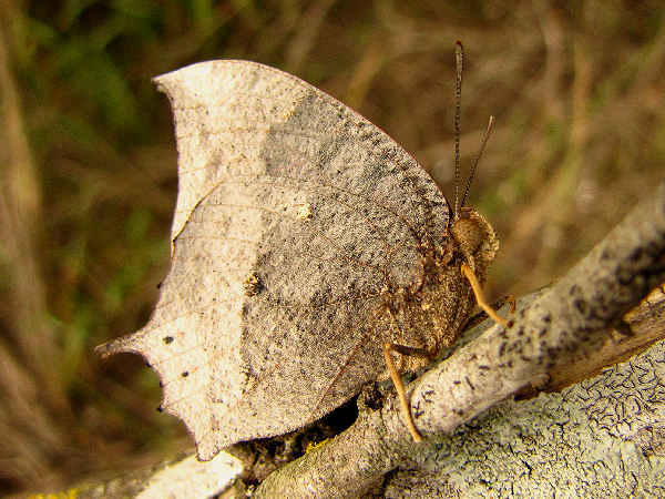 picture of a side view of a Goatweed Leafwing butterfly, the most common Leafwing species in the United States.
