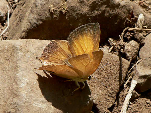 picture of a Golden Hairstreak butterfly