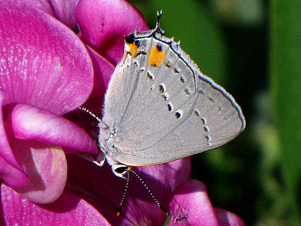 picture of a Gray hairstreak on a perennial pea flower