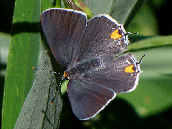 picture of a top view of a gray hairstreak butterfly