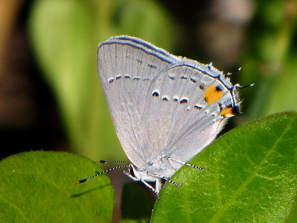 picture of a gray hairstreak butterfly