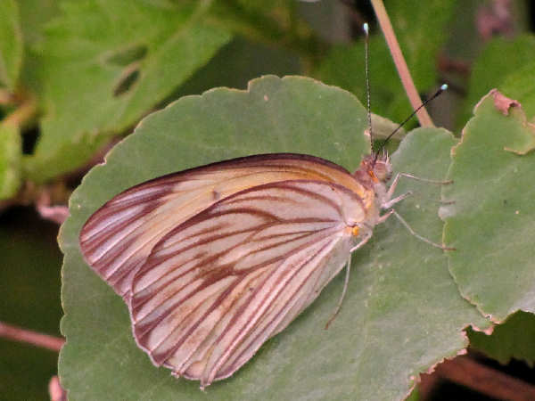 picture of a Great Southern White butterfly