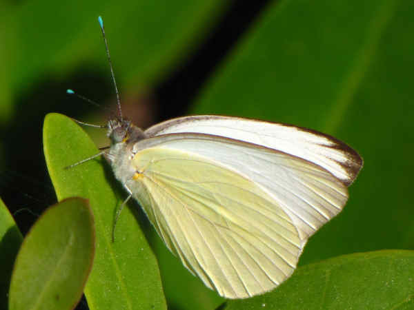 picture of a great southern white butterfly, part of the white butterfly identification section