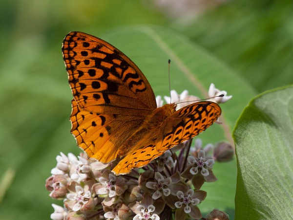 picture of a Great Spangled Fritillary