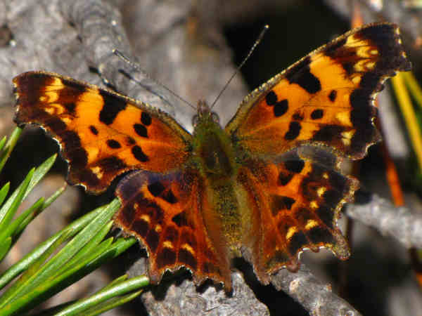 picture of a Green Comma butterfly, part of the California butterflies collection