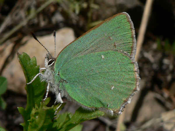 picture of a Sheridan's Hairstreak, part of the butterfly identification series
