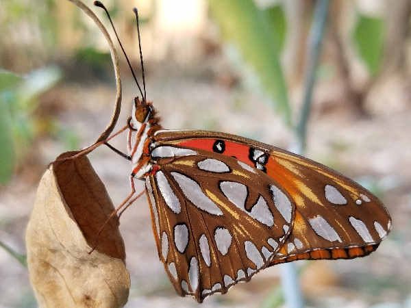 picture of a Gulf Fritillary butterfly in Hawaii
