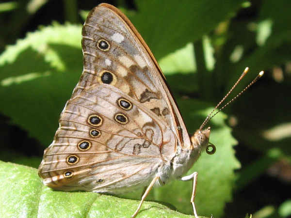 picture of a side view of a Hackberry Emperor butterfly