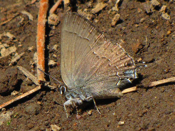 picture of a hedgerow hairstreak