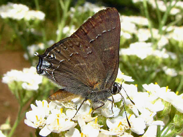 picture of a Hedgerow Hairstreak butterfly
