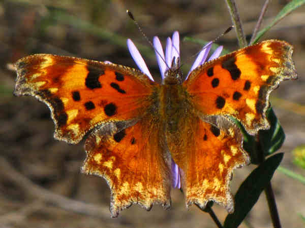 picture of a Hoary Comma