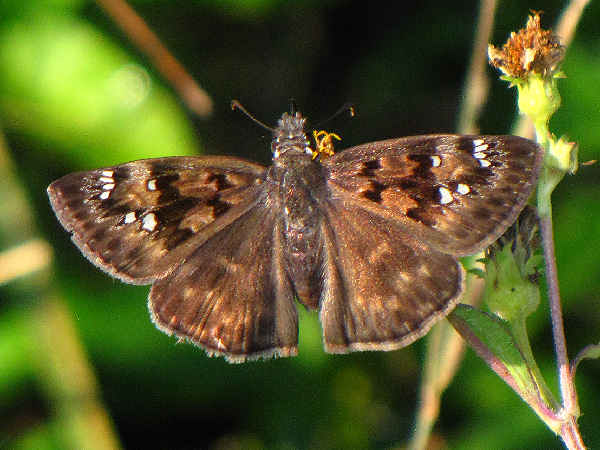 picture of Horace's Duskywing butterfly