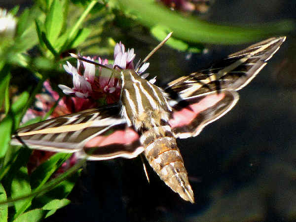 picture of a The White-lined Sphinx Moth (Hyles lineata) as it hovers around flowers