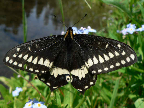 picture of an Indra Swallowtail