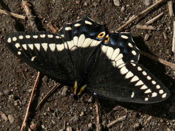 picture of an Indra swallowtail butterfly