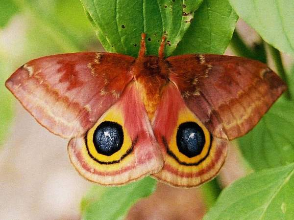 picture of an Io Moth, their larvae fit into the stinging caterpillar category
