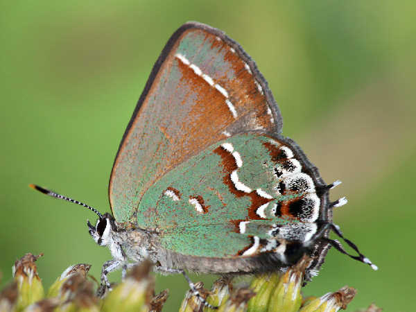 picture of a Juniper Hairstreak, credit-john-flannery, Flickr