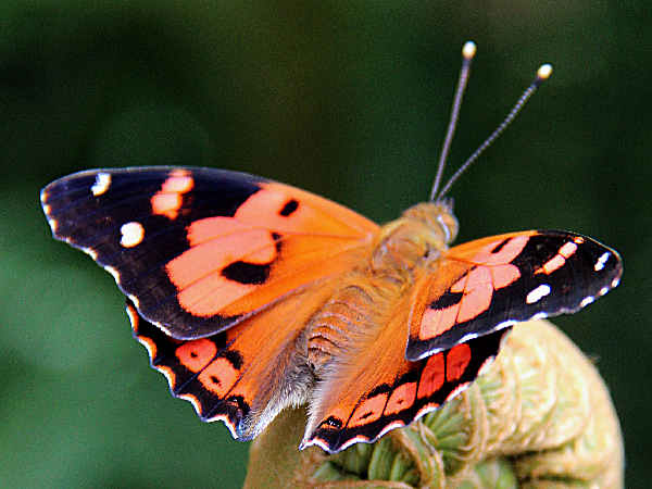 picture of a Kamehameha butterfly in Hawaii