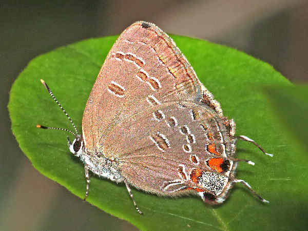 picture of a King's Hairstreak