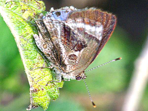 picture of a Latana Scrub-Hairstreak butterfly