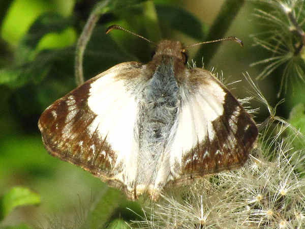picture of a Laviana White skipper