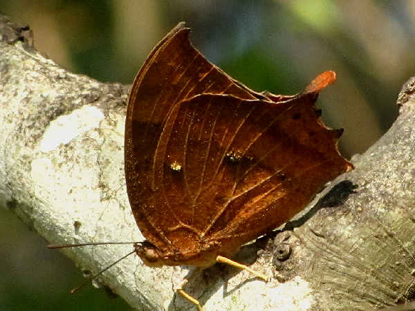 picture of a leafwing butterfly