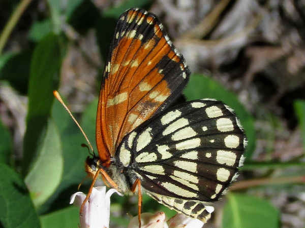 picture of a side view of a Leanira Checkerspot