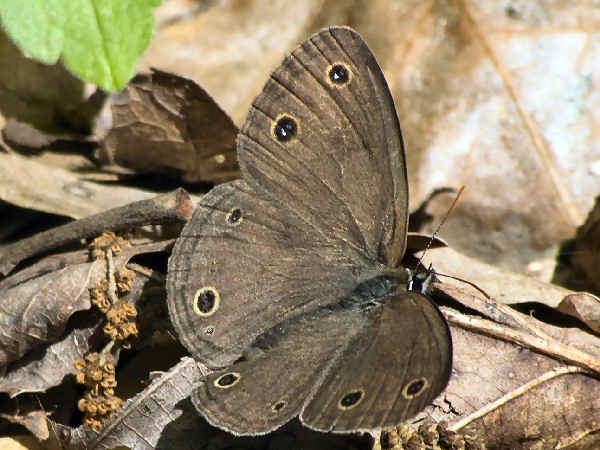 picture of a Little Wood Satyr butterfly