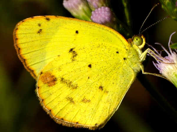 picture of a little yellow butterfly, part of the Wisconsin butterflies section