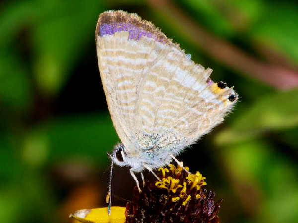 picture of a Long-tailed Blue butterfly in Hawaii
