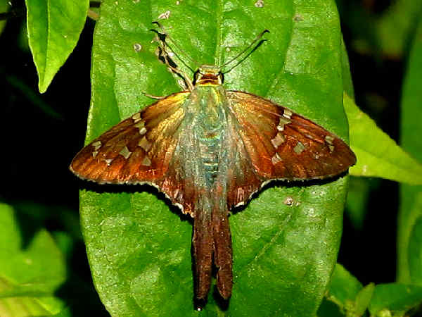 picture of a long-tailed-skipper