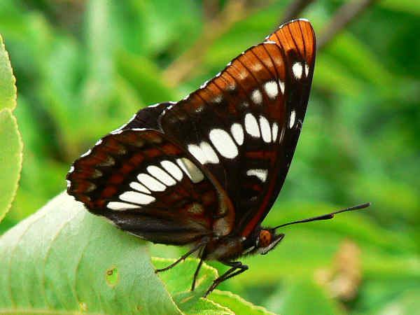 picture of a Lorquin's Admiral butterfly