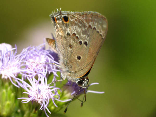 picture of a mallow scrub hairstreak