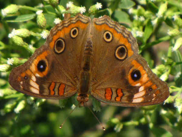 picture of a Mangrove Buckeye Butterfly