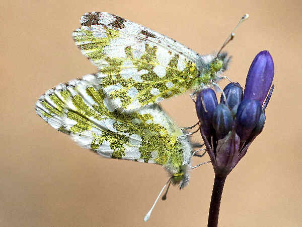 picture of a pair of California Marble butterflies, part of the California butterflies section