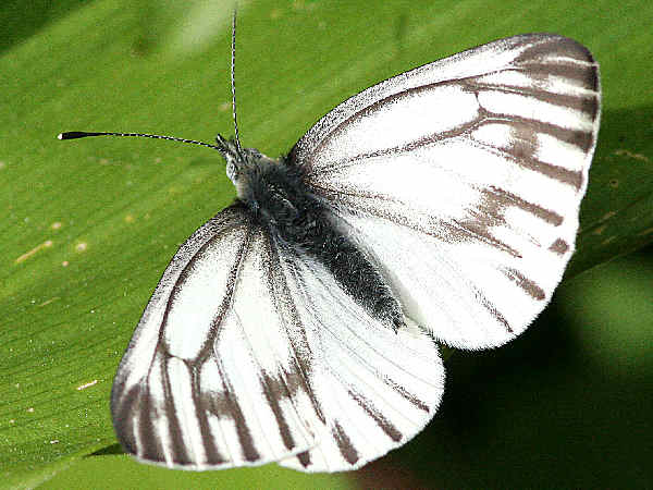picture of a  Margined white butterfly