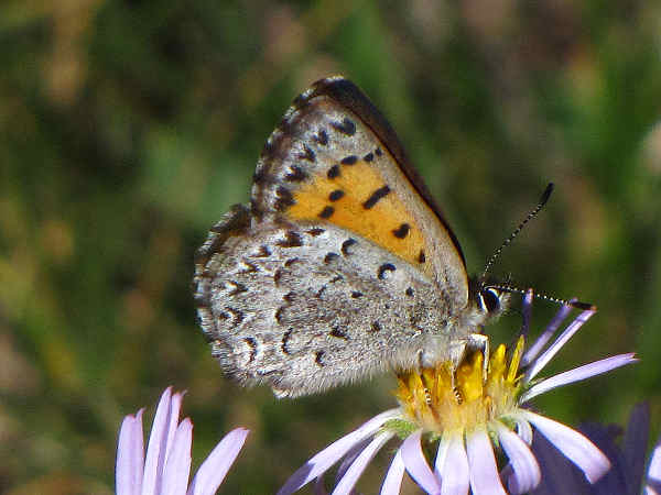 picture of a Mariposa Copper butterfly