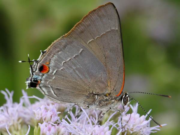 picture of a Marius Hairstreak