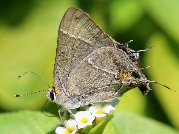 picture of a Martial Scrub Hairstreak butterfly