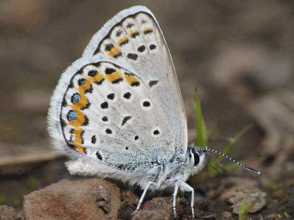 picture of a Melissa Blue butterfly