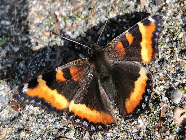 picture of a Milbert's Tortoiseshell