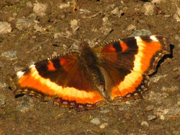 picture of a Milbert's tortoiseshell butterfly