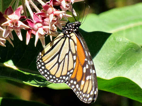 picture of a Monarch Butterfly on Milkweed, part of the Texas Butterflies collection