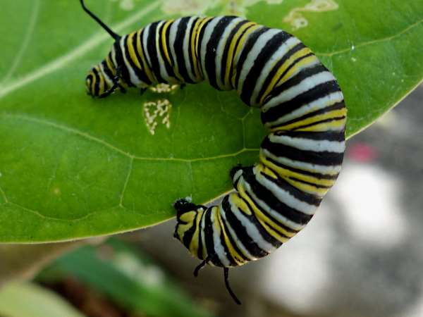 picture of a Monarch butterfly caterpillar