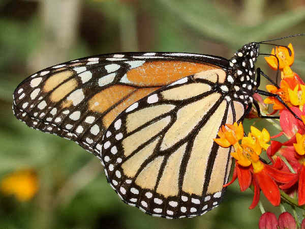 picture of a Monarch Butterfly in Hawaii