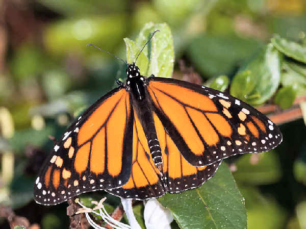 picture of a Monarch Butterfly the state butterfly of Vermont