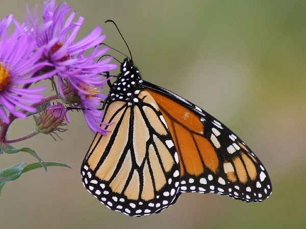 picture of a Monarch Butterfly the state butterfly of Idaho and part of the Idaho butterflies collection