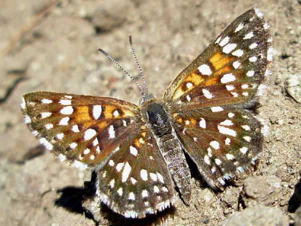 picture of a Mormon Metalmark butterfly
